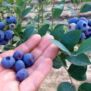 Blueberry seeds for sale