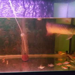 Arowana fish with tank