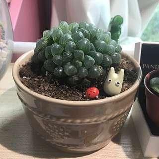 Succulent  cactus totoro  haworthia