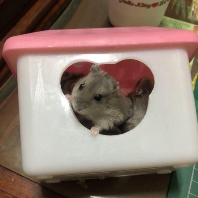 小幼鼠免費領養