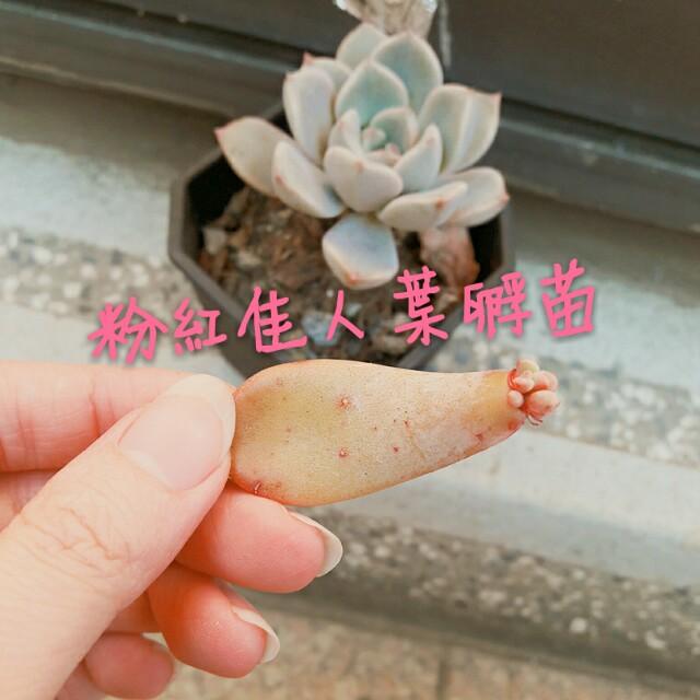 粉紅佳人多肉葉孵苗 有根葉片 景天