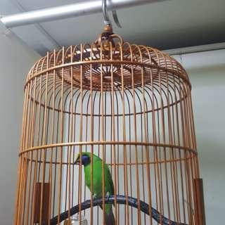 Yellow crown leafbird