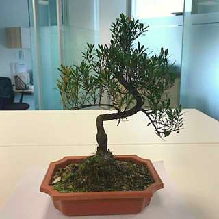 Prosperity Bonsai for CNY