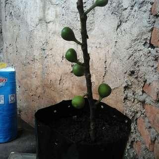 Bibit pohon tin jenis green jordan