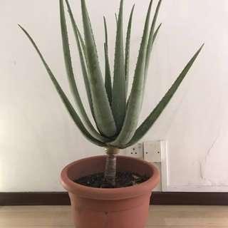 Aloe Vera Plant(Extremely Large)