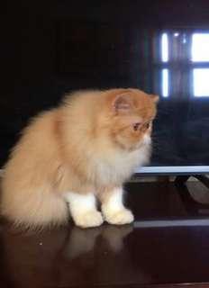 Jual kucing harga 1 juta nego tipis umur 7 bulan minat serius telp/wa 082351482720