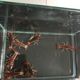 Ghost crayfish 3 for $10
