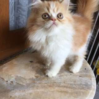 Kucing persia flat nose