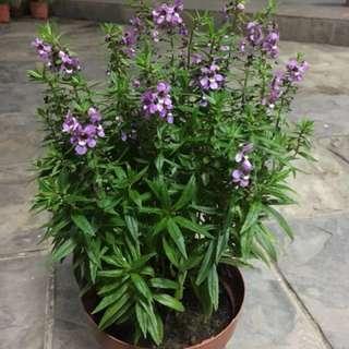 Salvia plants