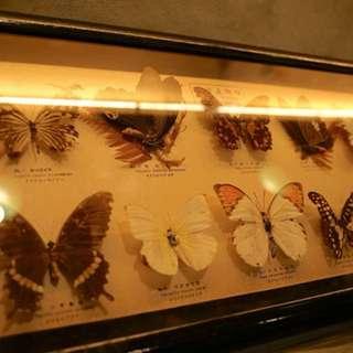 蝴蝶標本 台灣蝴蝶