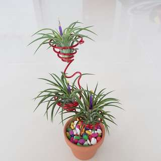 Air Plant for sale!