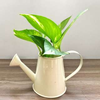 Watering can Money Plant!