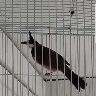 Female SG jambul w cage