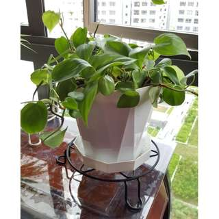 Heart Leaf Philodendron - Air Purifier