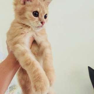 Kitten Persmed Mix Maincoone Jantan Long Hair