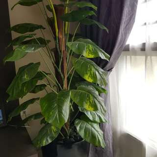 Indoor Plant (very well maintained)