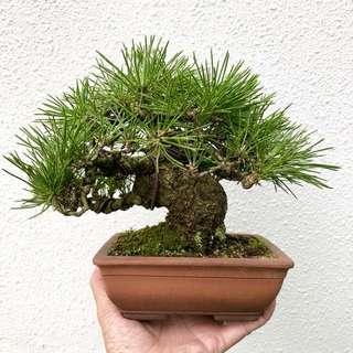Japanese Mikawa Black Pine