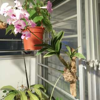 Mounting orchid