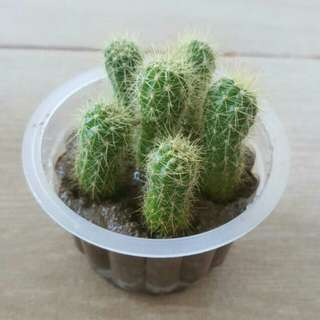 PREORDER♳Mini Baby Cactus Plants (Flower Design) In Container With Soil