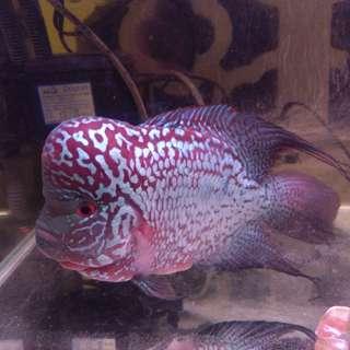 4th Generation High breed king kamfa Flowerhorn fish for sale