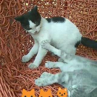 Free adopt kucing
