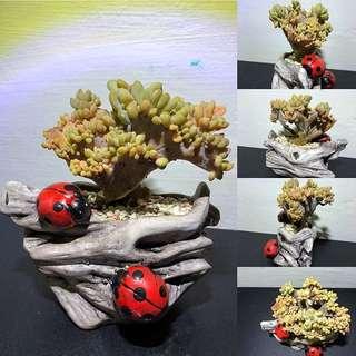 Cremneria 'Expatriata' f.cristata (Imported from Korea)