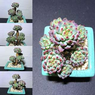 Echeveria Blue Elf  (Imported from Korea)