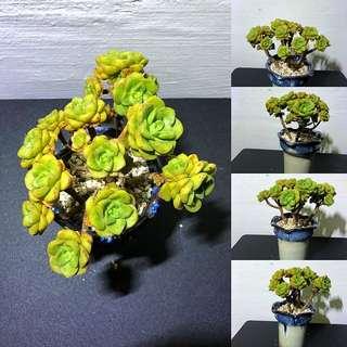 Aeonium LilyPad (Imported from Korea)