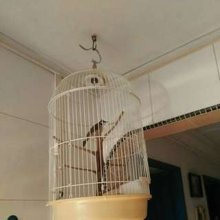 Young Jumbul with cage