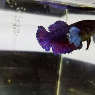 Dumbo Betta female