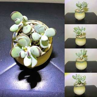 Cotyledon orbiculata cv (Imported from Korea)