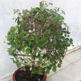 Plant bougainvillea
