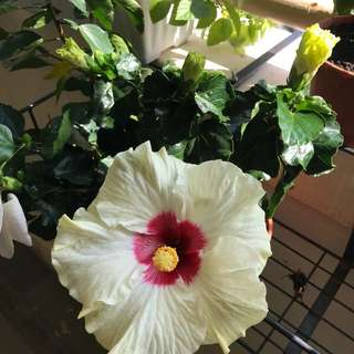 Pale yellow with red Centre hibiscus plant