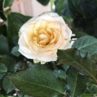Pale yellow rose plant