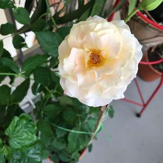 Big rose plant with pale yellow flowers