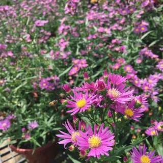 🌸CNY PLANT: BEAUTIFUL Sweet Aster (Clusters after clusters of gorgeous blooms!)💐