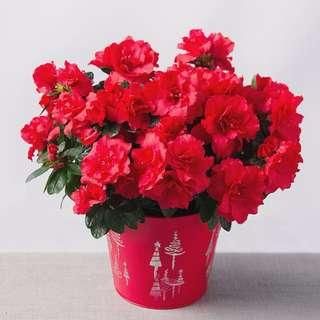 🌺CNY PLANT: STUNNING Azaelas (Bursting into blooms soon!!)🌺
