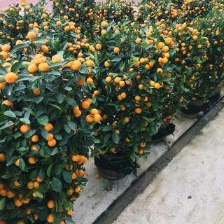 🍊CNY PLANT: JUICY Four Season Lime (Around 1.1m tall)🍊