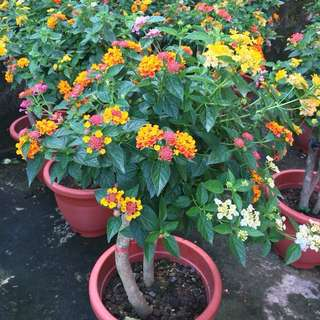 💐CNY PLANT: SPECTACULAR Colorful Lantana Grafted Topiary💐