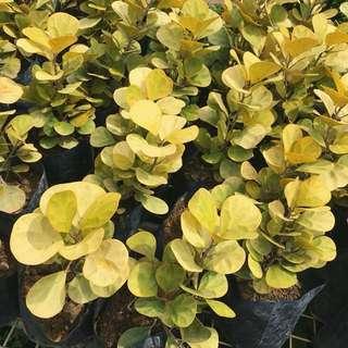 💰CNY PLANT: Ficus Deltoidea Gold (Resemble Golden Coins!😆)