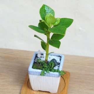 書帶木 小盆景 盆栽 連盆 觀葉植物 20cm(H) (Claudia Sp.) Plant With Pot 易種