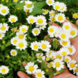 🌴Gardening🌴White Chrysanthemum Seeds For Planti ng