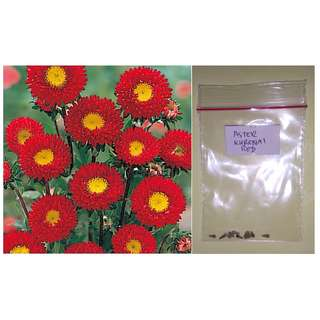 Aster Kurenai Red Flower Seeds