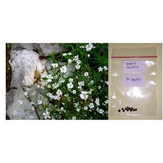 Baby's Breath Flower Seeds
