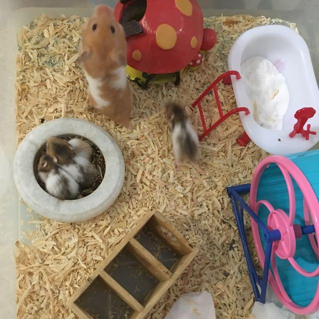 anakan syrian hamster