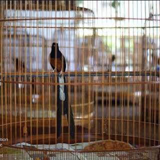 "Shama wif 21""cage Wts/Wtt"
