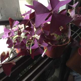 Oxalis triangularis/love Plant in bloom