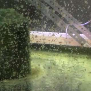 Daphnia or infusoria like live baby fish fry feeder