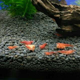 rcs red cherry shrimp