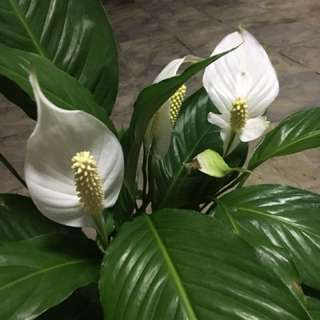 Peace lily big